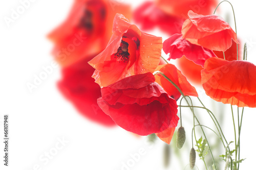 poppies © Peredniankina