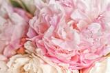 Fototapety Blooming pink peonies