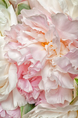 Blooming peonies vertical