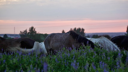 Herd of horses is grazed in the field at sunrise