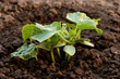 Gurkenpflanze ©yvonneweis