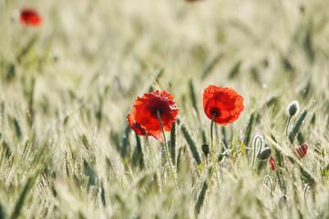 Zwei Mohnblüten im Getreidefeld, morgendliches Gegenlicht