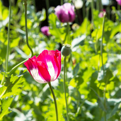 Close up shot of poppy flower