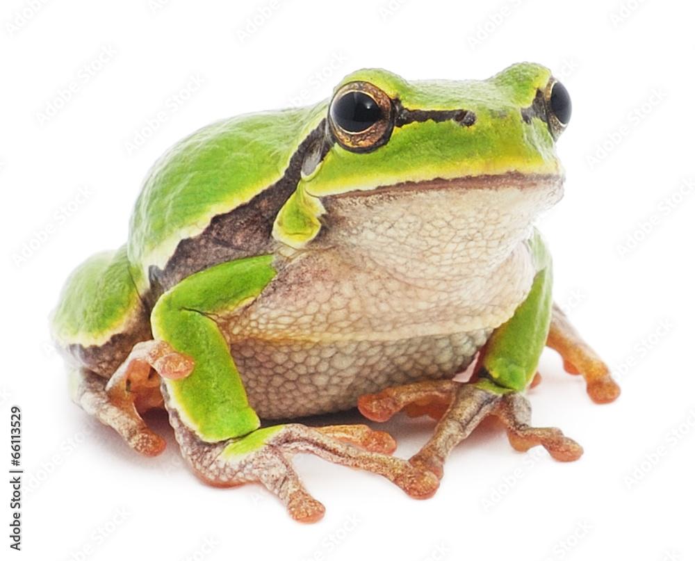 foto auf acrylglas tree frog nikkel. Black Bedroom Furniture Sets. Home Design Ideas