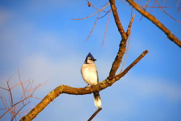 Blue Jay bird on the branch of a tree