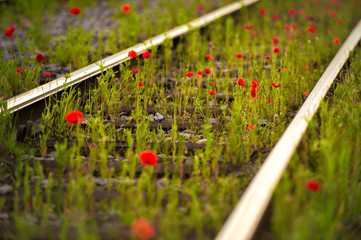 poppies between rails