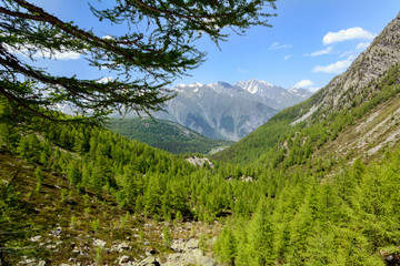 Pinete e conifere in montagna