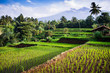 Rice fields, background Mt. Rinjani,  Senaru, Lombok, Indonesia,