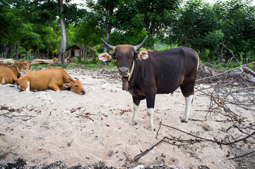 cattle at island Sumbawa, Indonesia
