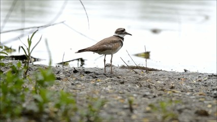 Killdeer on lake shore vocalizing