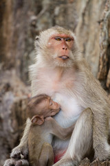 Mom and baby monkeys, breast-feed