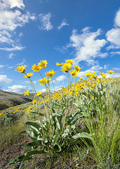 Yellow flowers and blue sky with puffy clouds
