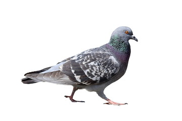 isolated walking pigeon