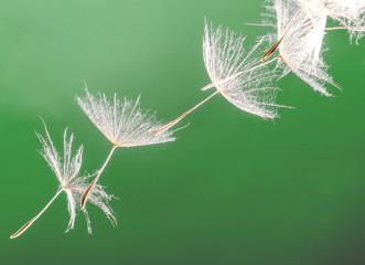 Dandelion seed )