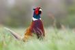 pheasant cock