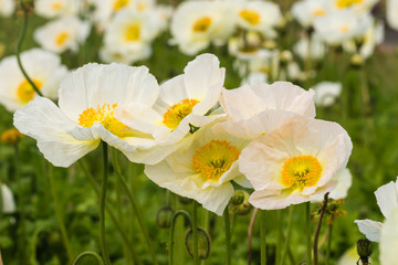 white poppy flowers