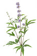 Mönchspfeffer (Vitex agnus-castus) - isoliert auf weiß