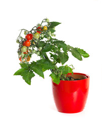 Tomato in a flowerpot on a white background.