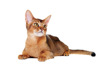 lying on the floor  abyssinian cat front view