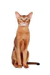 sitting  abyssinian cat looking up front view portrait