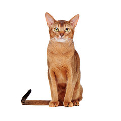 sitting abyssinian cat  front view portrait