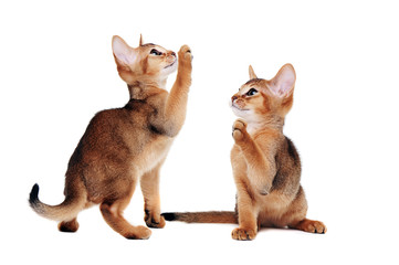 two abyssinian kitten playing