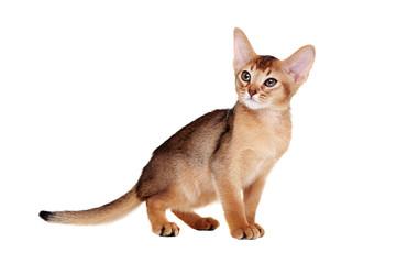 abyssinian kitten   standing side view portrait