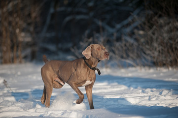 weimaraner dog runs in winter