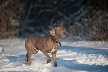 weimaraner dog runs in winter