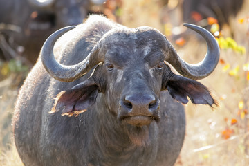 Wild Buffalo with large horns standing in afternoon light