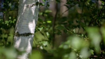 Beautiful birch tree in a summer forest