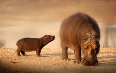 Baby hippo with mother hippopotamus