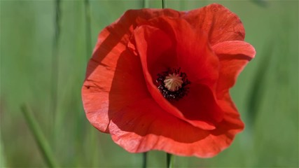 Red poppy seed close up