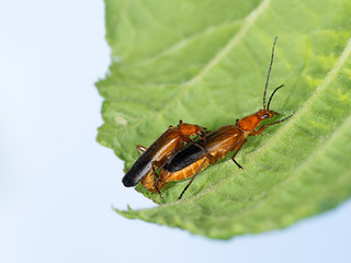 Soldier beetles - Cantharis rustica, mating  leaf. Nature spring