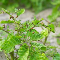 colorado beetle on a potato leaf eating it
