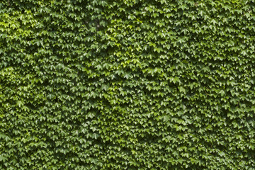 Wall overgrown with ivy background
