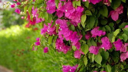 beautiful hedge of flowering shrubs