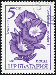 stamp printed in the Bulgaria shows Dwarf Morning Glory