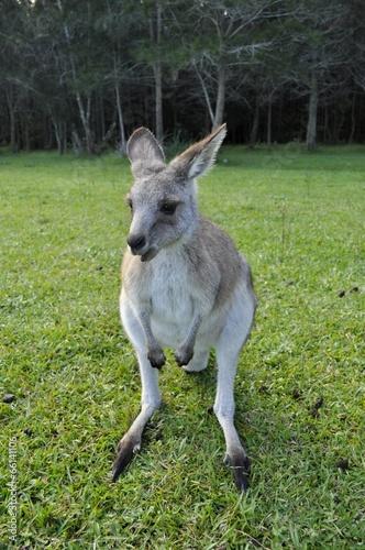 Kangourou dans la nature