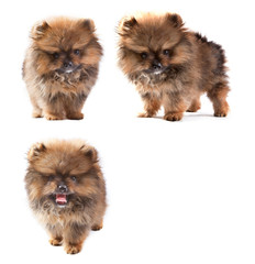 t-cup pomeranian puppy dog isolated white