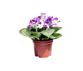 Blossoming violets in flowerpot isolated