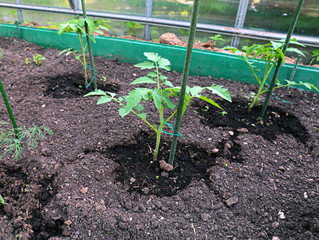 Young tomato plants in the garden bed