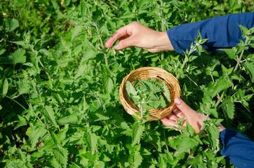 herbalist girl hand pick balm mint herb plant