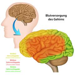 Blutversorgung des Gehirns, Anatomie Gehirn