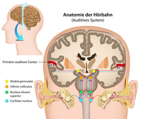 Anatomie der Hörbahn, Auditives System