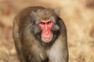 Japanese macaque (Macaca fuscata) in Japan