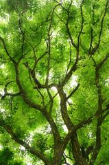 Blätterdach einer schönen Robinie in Froschperspektive