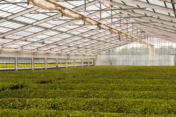Green house for growing green tea