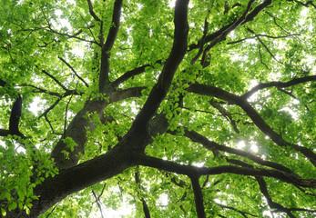 Blätterdach einer schönen Eiche in Froschperspektive