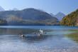 white swan family on alpine lake